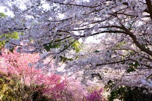 境内に咲く桜